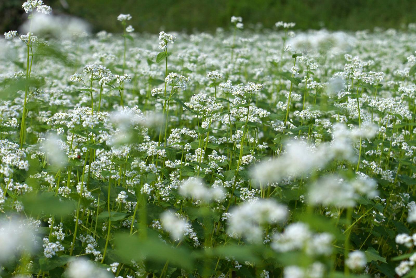 そばの花:北山権兵衛